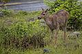 Black Tailed Deer (14412742899).jpg