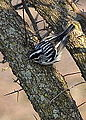 Black and White Warbler (8677887572).jpg
