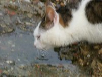 Файл:Black and white cat drinks from a puddle.ogv