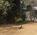 Black kites on the ground.jpg