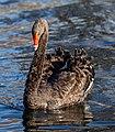 Black swan on Avon River, Christchurch, New Zealand 02.jpg