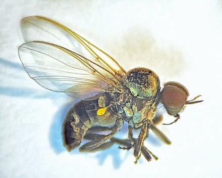 Blackfly., From WikimediaPhotos