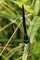 Blauflügel-Prachtlibelle Calopteryx virgo 8195.jpg
