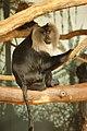Blijdorp - Macaca silenus.jpg