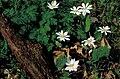 Bloodroot (Sanguinaria canadensis).jpg