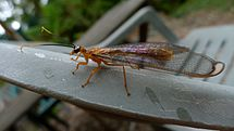 Blue-eyed Lacewing (6451860161).jpg