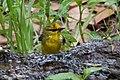 Blue-winged Warbler (male) Sabine Woods TX 2018-04-21 12-22-59 (41072175435).jpg