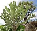 Blue Candle Cactus (Myrtillocactus geometrizans) (35773208785).jpg