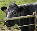 Blue Gray Cow.jpg