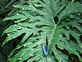 Blue Morpho butterfly at Niagara Parks Butterfly Conservatory, 2010 C.jpg