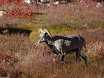 Blue Sheep Pseudois nayaur WTK20150921-DSC00167.jpg