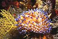 Blue flames of the Gasflame nudibranch (3058943779).jpg