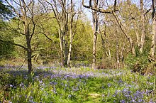Bluebells in Launde Big Wood - geograph.org.uk - 168303.jpg