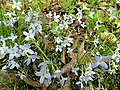 Bluets Nature Hike Duke Forest Durham NC 0242 (26394892860).jpg