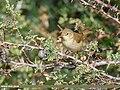Blyth's Reed Warbler (Acrocephalus dumetorum) (31897114098).jpg