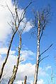 Bois-mort Castor fiber ArdennesHiver 0110.JPG
