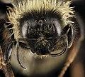 Bombus ternarius, F, Face, MI, Alger County 2014-03-20-09.02 (38117018276).jpg