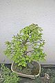 Bonsai - carpinus betulus1.jpg