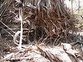 Borassus aethiopum 0082.jpg
