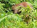 Borneo Elephant (14839814129).jpg