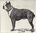 Boston Terrier from 1915.JPG