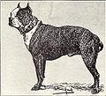 Boston Terrier from 1915.JPG