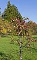 Botanischer Garten Berlin-Dahlem 10-2014 photo10 Malus toringoides.jpg