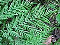 Botrypus virginianus (rattlesnake fern) (Natural Bridge State Park, northeast of Leland, Wisconsin, USA) 3 (19101072021).jpg