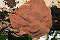 Bottomside of Hapalopilus nidulans or Hapalopilus rutilans (Cinnamon Bracket or Tender Nesting Polypore, D= Zimtfarbener Weichporling, F= Polypore rutilant , NL= Kussenvormige houtzwam) white spores and causes white ro - panoramio.jpg