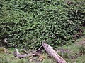 Bougainvillea glabra 'Magnifica' Choisy (AM AK290483-2).jpg