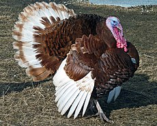 Bourbob red turkey Tom-r2.jpg