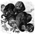 Brüllaffe (Mycetes Caraya).png