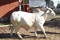 Brahman (EMAPA) 110307 REFON.jpg