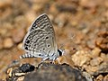 Bright Babul blue from Savandurga IMG 2520.jpg