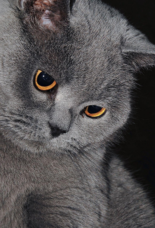 British shorthair -Razas de gato