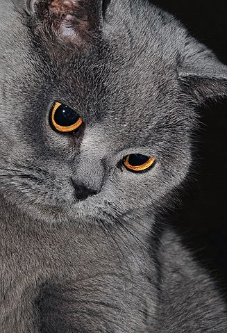 British Fold Cat For Sale