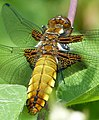 Broad-bodied Chaser. Libellula depressa - Flickr - gailhampshire (10).jpg
