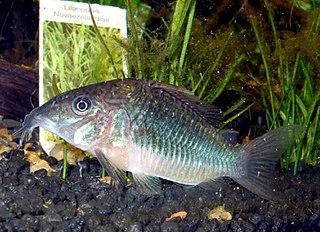 Emerald catfish species of catfish