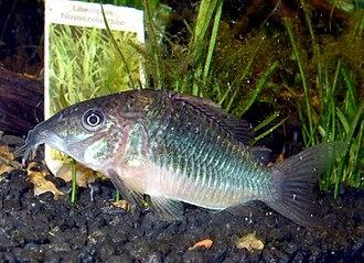 Emerald catfish - Image: Brochis splendens im Aquarium
