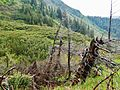 Broken trees in subalpine zone Ukrainian Carpathians.JPG