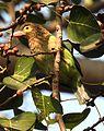 Brown-headed Barbet Psilopogon zeylanicus by Dr. Raju Kasambe DSCN5482 (23).jpg