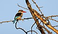 Brown-hooded Kingfisher (Halcyon albiventris) (45838498904).jpg