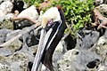 Brown Pelican, Crystal River FL, March 28, 2012 (7024998909).jpg