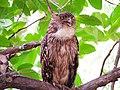 Brown fish owl from Tadoba National Park.jpg
