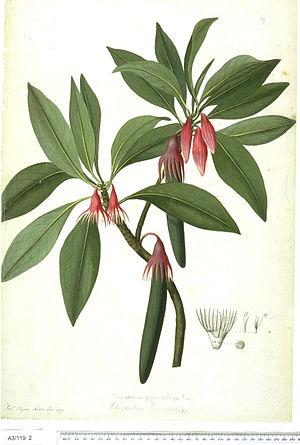 Frederick Polydore Nodder - Bruguiera gymnorhiza by Frederick Polydore Nodder