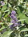Buddleja salviifolia (9105009027).jpg
