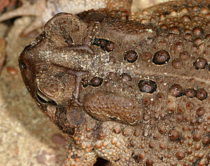 American toad - Detail of parotoid glands
