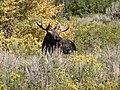 Bull moose in fall brush (11741304526).jpg