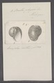 Bulla physis - - Print - Iconographia Zoologica - Special Collections University of Amsterdam - UBAINV0274 091 07 0011.tif