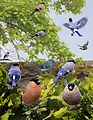 Bullfinch from the Crossley ID Guide Britain and Ireland.jpg